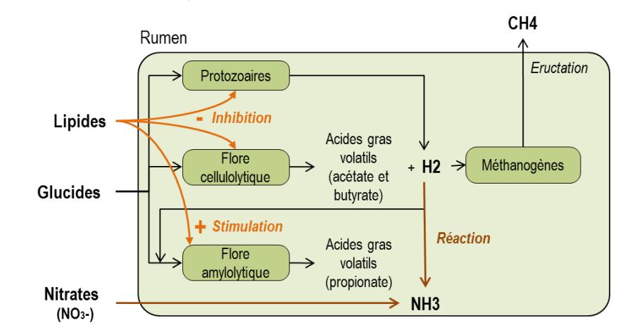 Dégradation des glucides et des lipides dans le rumen des bovins